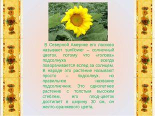 В Северной Америке его ласково называют sunflower – солнечный цветок, потому