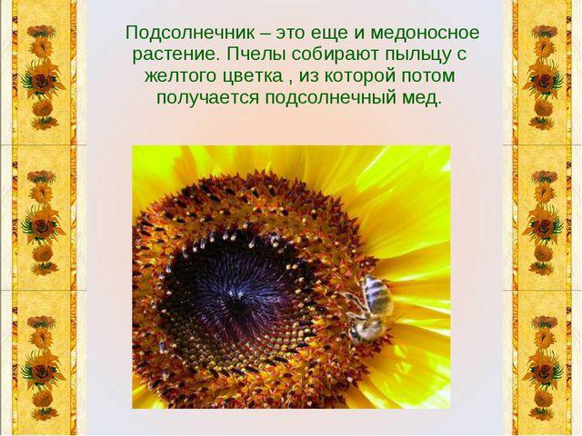 Подсолнечник – это еще и медоносное растение. Пчелы собирают пыльцу с желтог...