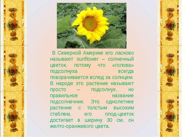 В Северной Америке его ласково называют sunflower – солнечный цветок, потому...