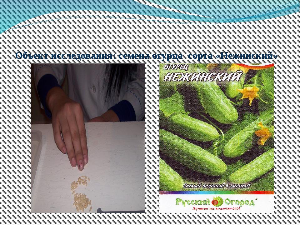 Объект исследования: семена огурца сорта «Нежинский»