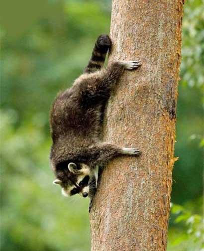 http://www.tepid.ru/images/raccoon3.jpg