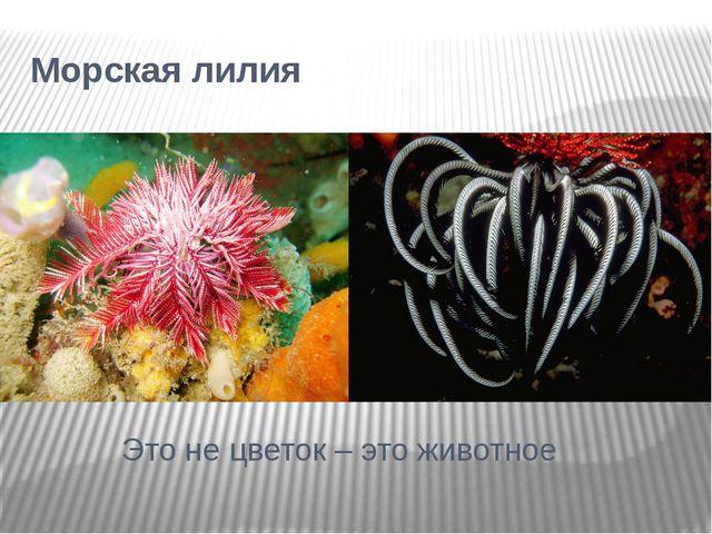 Морская лилия Это не цветок – это животное