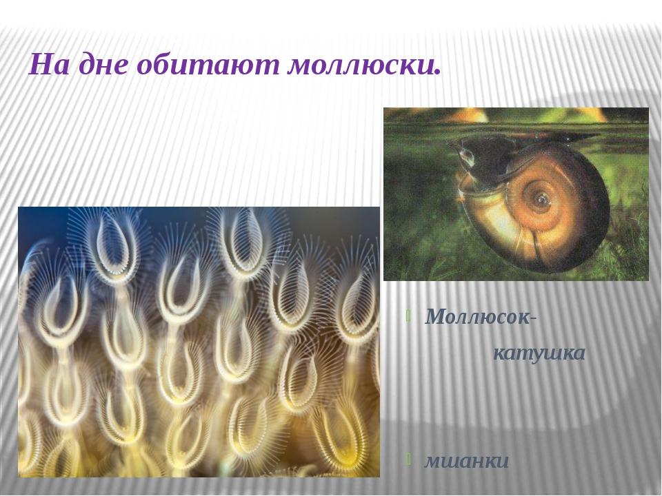 На дне обитают моллюски. Моллюсок- катушка мшанки