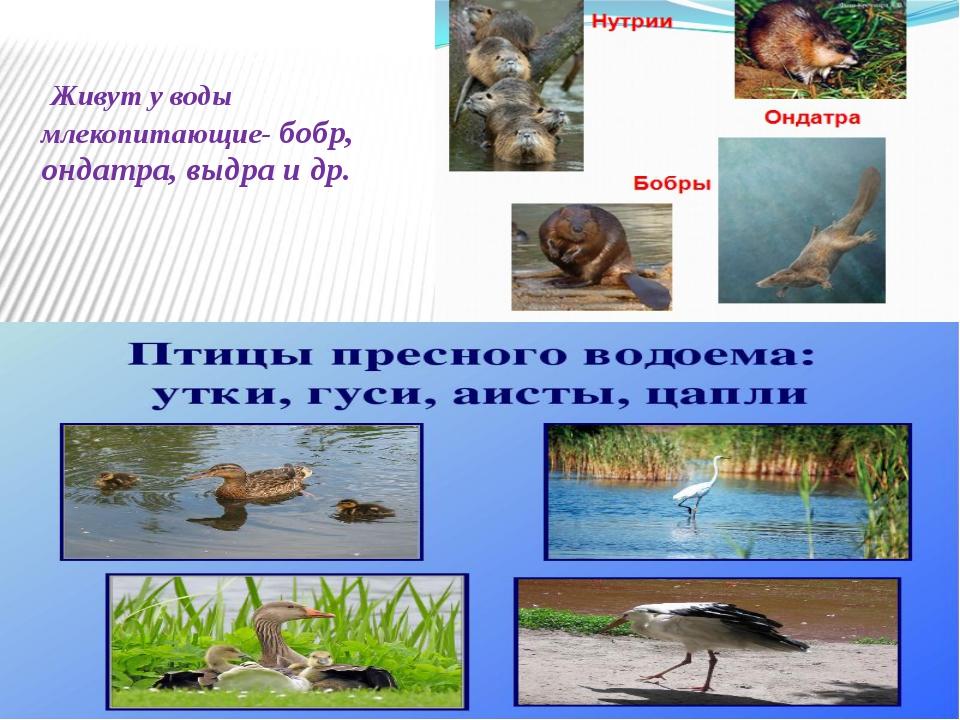 Живут у воды млекопитающие- бобр, ондатра, выдра и др.