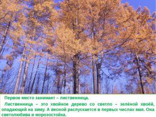Первое место занимает – лиственница. Лиственница – это хвойное дерево со све