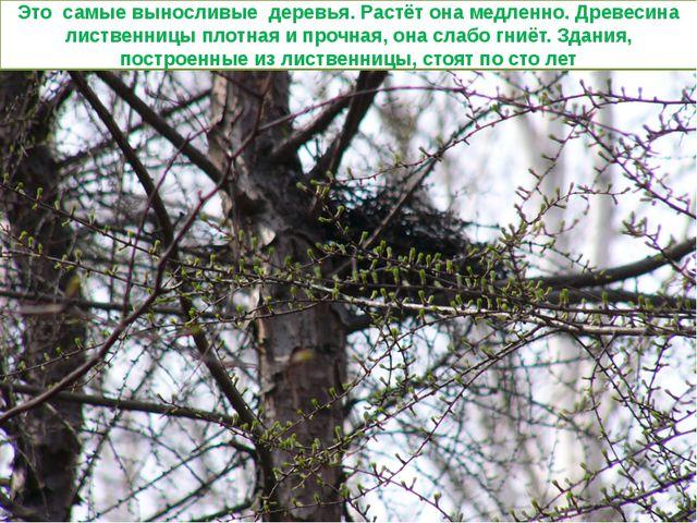Это самые выносливые деревья. Растёт она медленно. Древесина лиственницы плот...