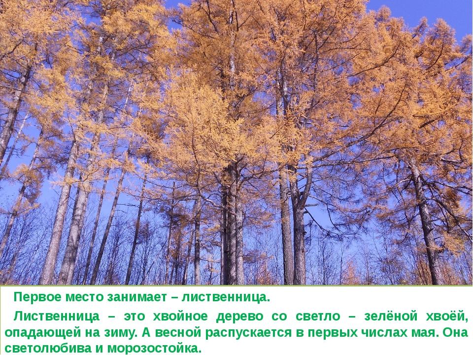 Первое место занимает – лиственница. Лиственница – это хвойное дерево со све...