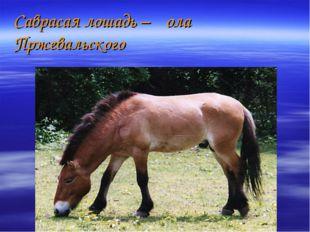 Саврасая лошадь –ҡола Пржевальского