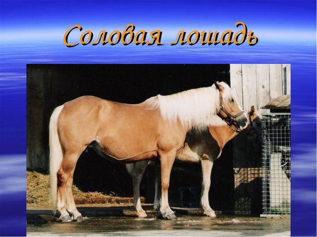 Соловая лошадь