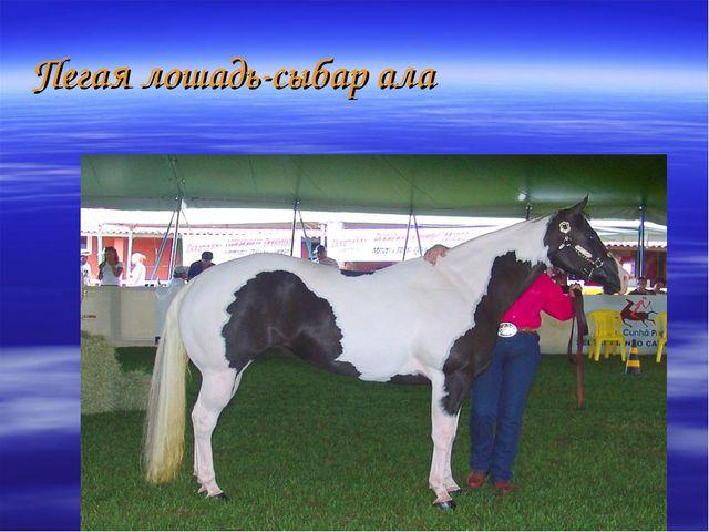 Пегая лошадь-сыбар ала