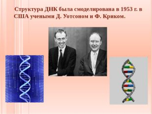 Структура ДНК была смоделирована в 1953 г. в США учеными Д. Уотсоном и Ф. Кр