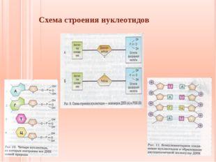 Схема строения нуклеотидов