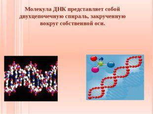 Молекула ДНК представляет собой двухцепочечную спираль, закрученную вокруг с