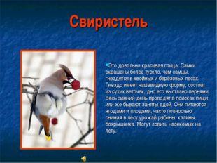 Свиристель Это довольно красивая птица. Cамки окрашены более тускло, чем самц