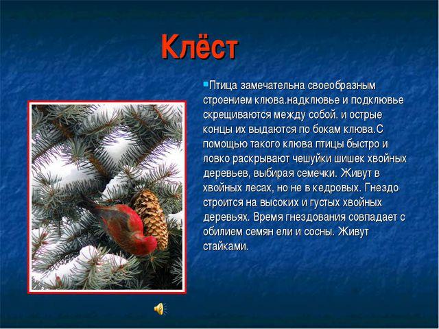 Клёст Птица замечательна своеобразным строением клюва.надклювье и подклювье с...