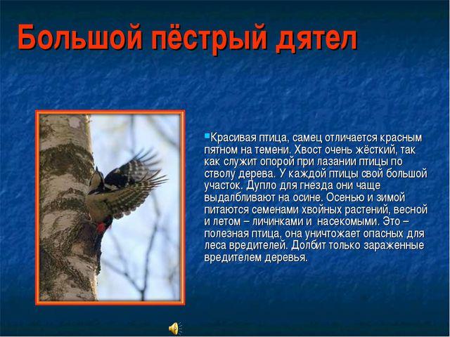 Большой пёстрый дятел Красивая птица, самец отличается красным пятном на теме...
