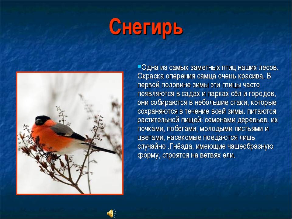 Снегирь Одна из самых заметных птиц наших лесов. Окраска оперения самца очень...