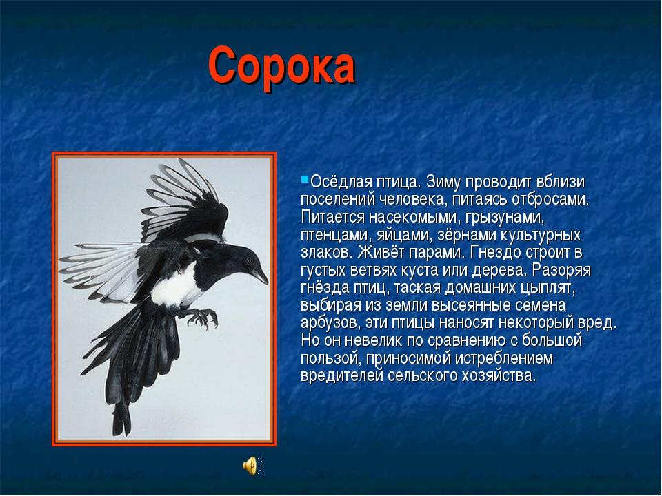 Сорока Осёдлая птица. Зиму проводит вблизи поселений человека, питаясь отброс...