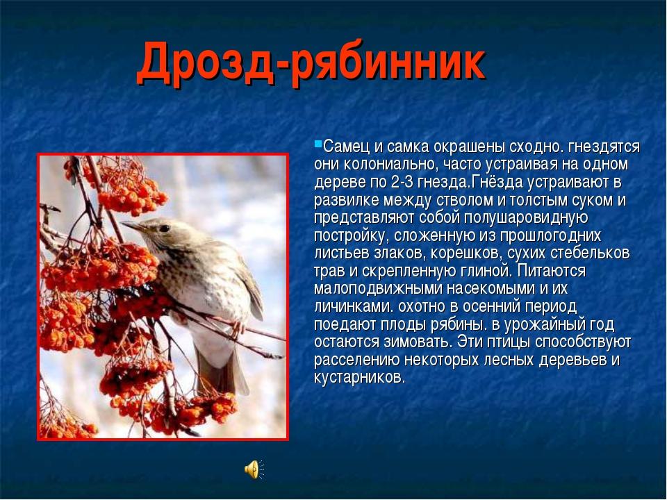 Дрозд-рябинник Самец и самка окрашены сходно. гнездятся они колониально, част...