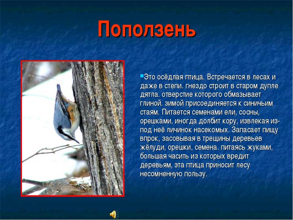 Поползень Это осёдлая птица. Встречается в лесах и даже в степи. гнездо строи...