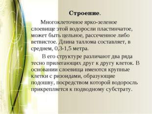 Строение. Многоклеточное ярко-зеленое слоевище этой водоросли пластинчатое,
