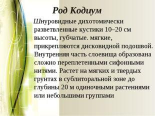 РодКодиум Шнуровидные дихотомически разветвленные кустики 10–20 см высоты, г
