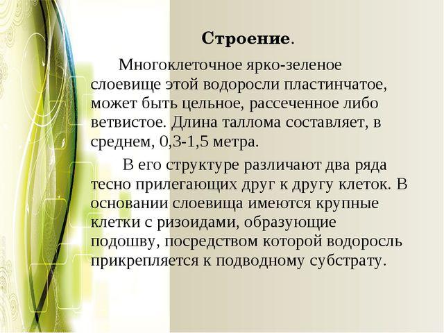 Строение. Многоклеточное ярко-зеленое слоевище этой водоросли пластинчатое,...