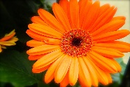 http://1.bp.blogspot.com/-qEFC3vcBR7c/UTtWZ94H5XI/AAAAAAAAURg/zRgXXyLafmQ/s1600/Orange%20Gerbera%20Daisy%20Flowers%20Wallpapers%206.jpg