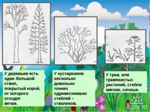 У деревьев есть один большой ствол, покрытый корой, от которого отходят ветв