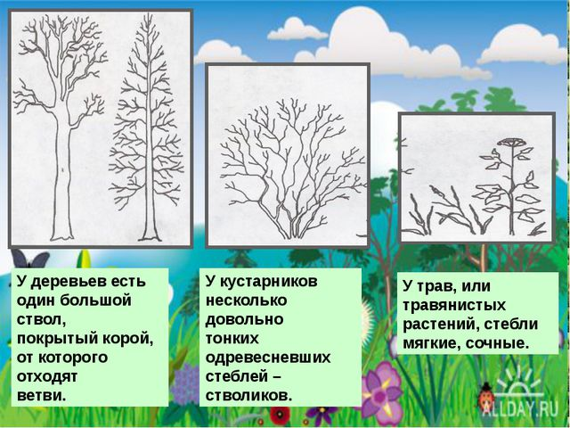 У деревьев есть один большой ствол, покрытый корой, от которого отходят ветв...