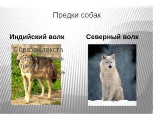Предки собак Индийский волк Северный волк