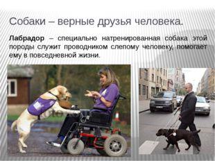 Собаки – верные друзья человека. Лабрадор – специально натренированная собака