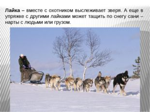 Лайка – вместе с охотником выслеживает зверя. А еще в упряжке с другими лайка