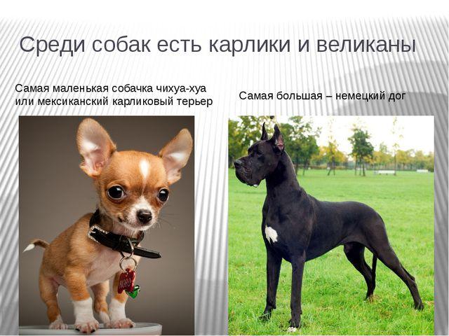 Среди собак есть карлики и великаны Самая маленькая собачка чихуа-хуа или мек...