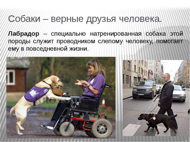 Собаки – верные друзья человека. Лабрадор – специально натренированная собака...