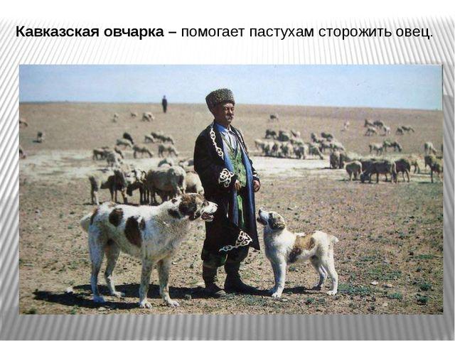Кавказская овчарка – помогает пастухам сторожить овец.