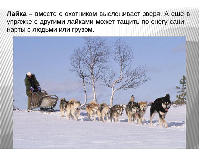 Лайка – вместе с охотником выслеживает зверя. А еще в упряжке с другими лайка...