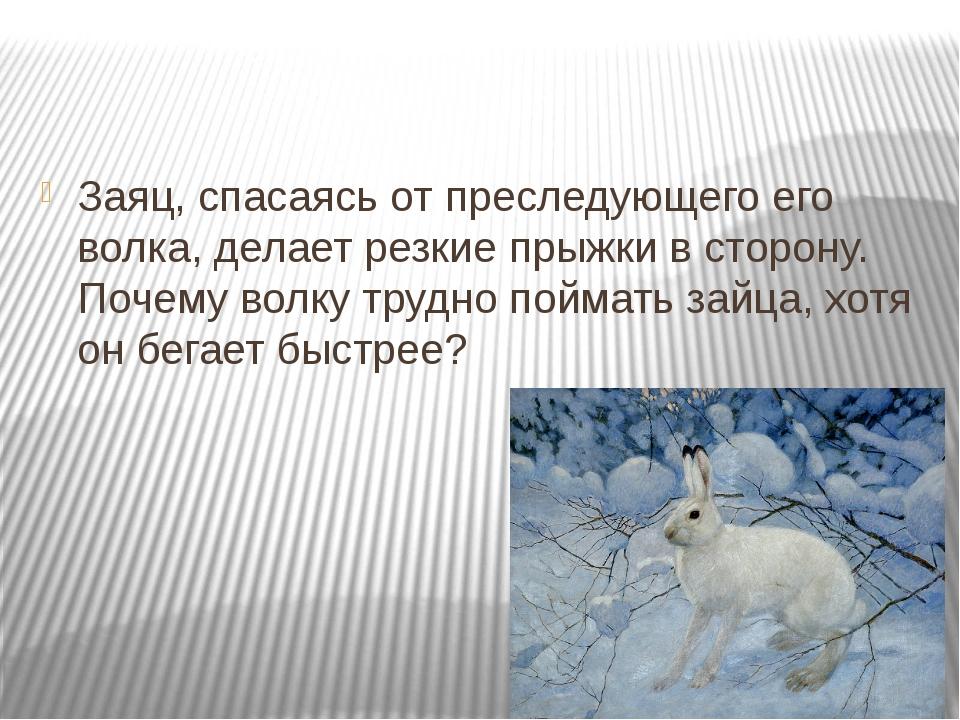 Заяц, спасаясь от преследующего его волка, делает резкие прыжки в сторону. П...