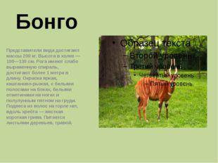 Бонго Представители вида достигают массы 200кг. Высота в холке— 100—130см.
