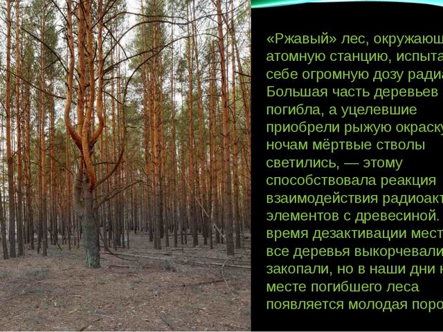 «Ржавый» лес, окружающий атомную станцию, испытал на себе огромную дозу радиа...