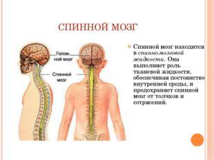СПИННОЙ МОЗГ Спинной мозг находится в спинномозговой жидкости. Она выполняет