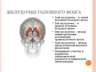 ЖЕЛУДОЧКИ ГОЛОВНОГО МОЗГА 1ый желудочек – в левой половине большого мозга 2ой