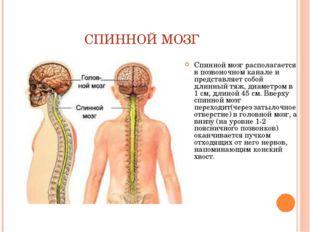 СПИННОЙ МОЗГ Спинной мозг располагается в позвоночном канале и представляет с