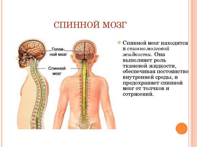 СПИННОЙ МОЗГ Спинной мозг находится в спинномозговой жидкости. Она выполняет...