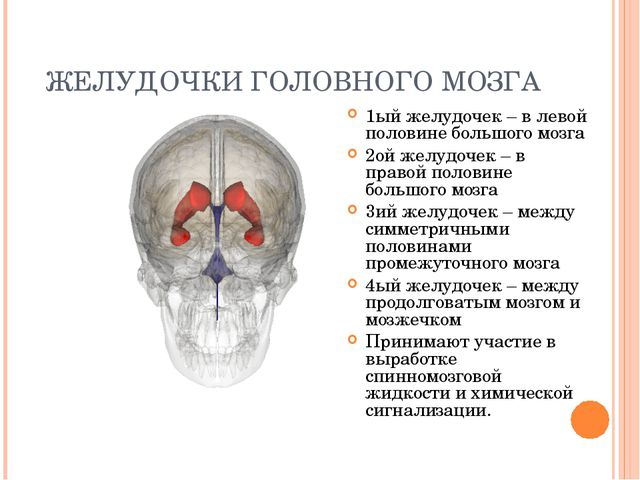ЖЕЛУДОЧКИ ГОЛОВНОГО МОЗГА 1ый желудочек – в левой половине большого мозга 2ой...