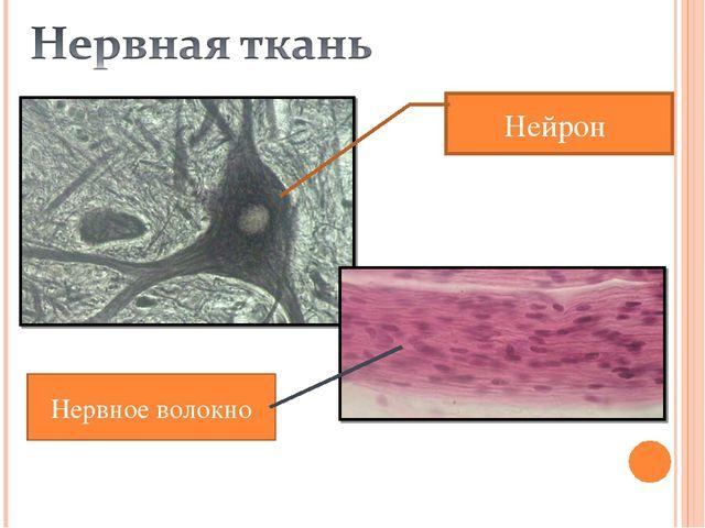 Нервное волокно Нейрон