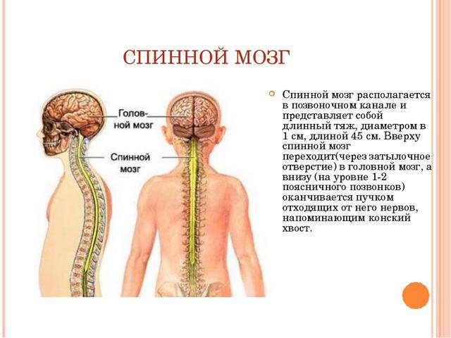 СПИННОЙ МОЗГ Спинной мозг располагается в позвоночном канале и представляет с...