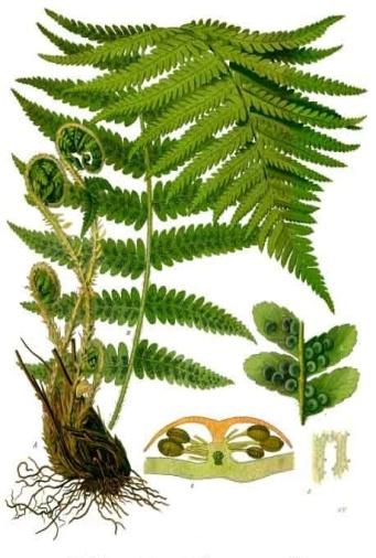 Описание: D:\работа\диссертация\Учебное пособие\Dryopteris_filix-mas_-_Köhler–s_Medizinal-Pflanzen-202.jpg