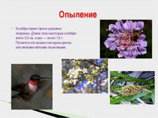 Колибри имеют яркое красивое оперение. Длина тела некоторых колибри всего 5,5