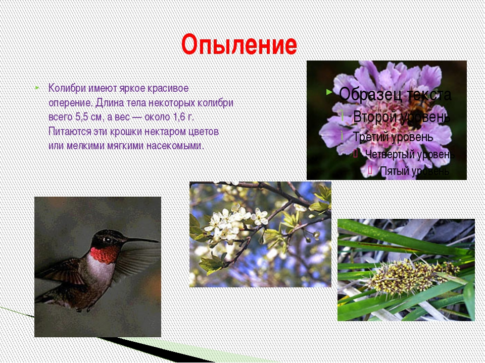 Колибри имеют яркое красивое оперение. Длина тела некоторых колибри всего 5,5...